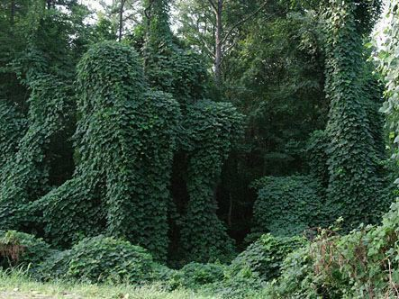 Kudzu – Friend or Foe?