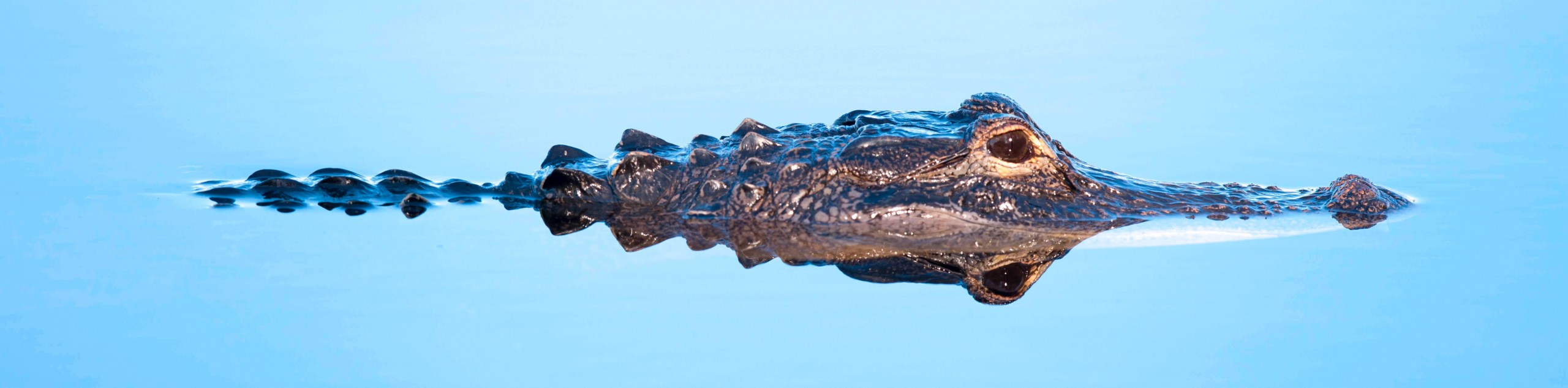 """The Alabama Alligator Harvest """"Lottery"""" is Now Open"""